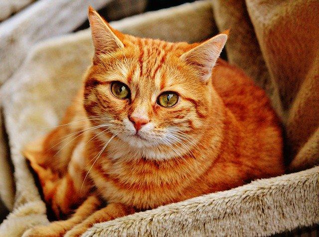 rezavá kočka